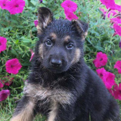 Timmy - doggie AKC German Shepherd for sale in Grabill, Indiana