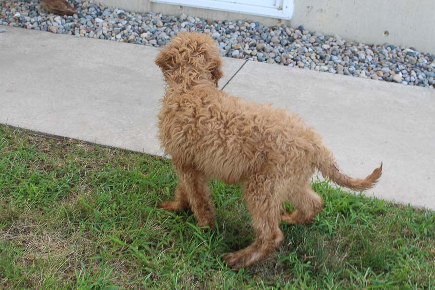 Buster- Goldendoodle male puppie for sale in Grabill, Indiana