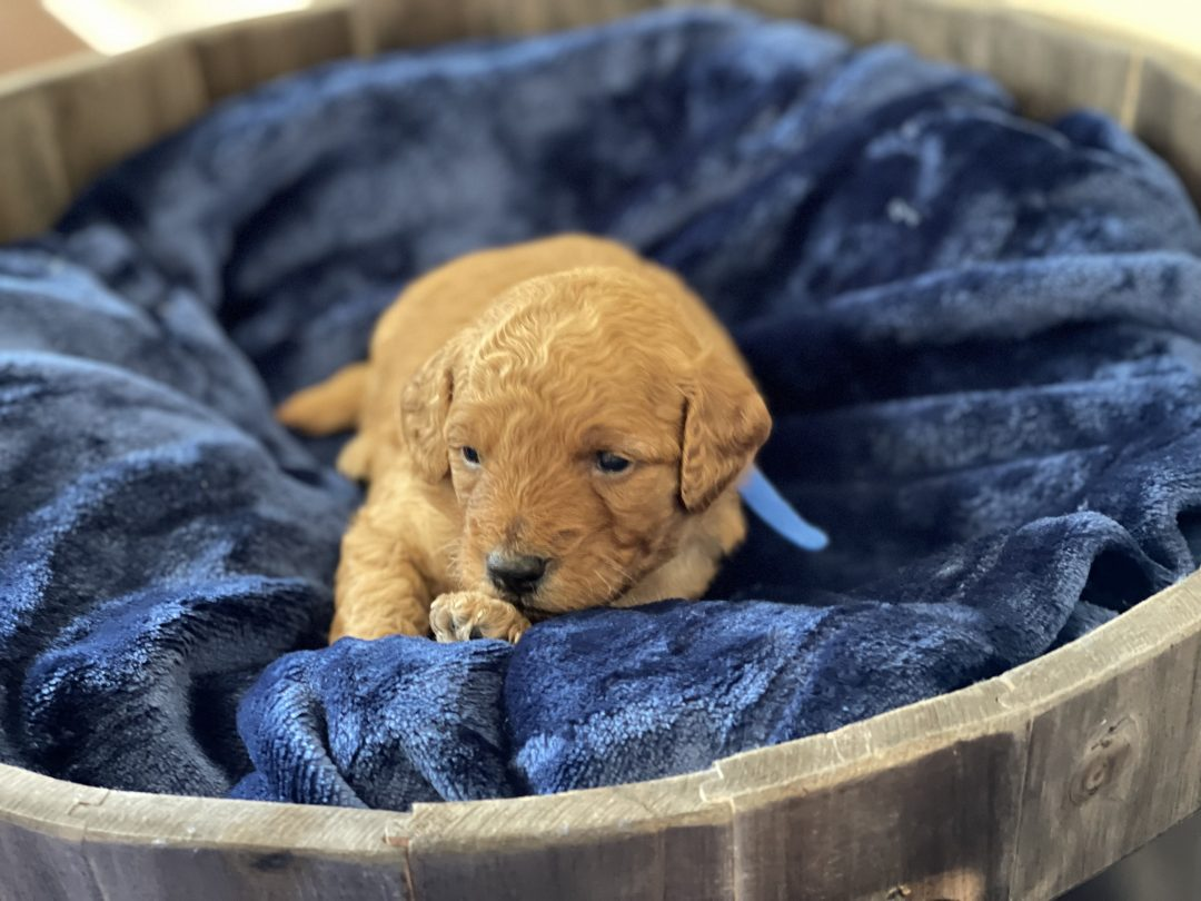 Blue -  Mini Goldendoodle male pup for sale in Fort Valley, Georgia