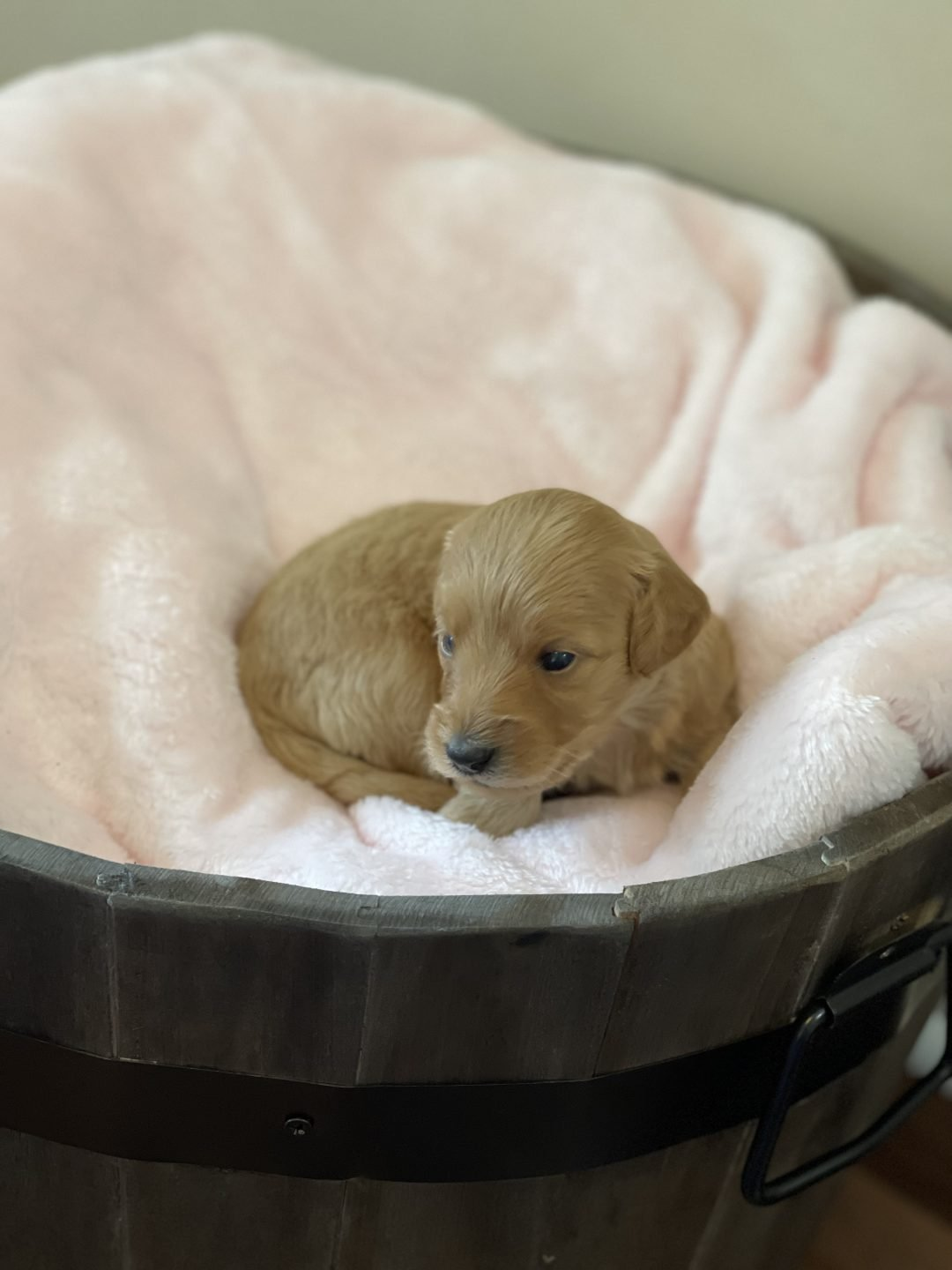 Pink - Mini Goldendoodle female puppie for sale near Fort Valley, Georgia