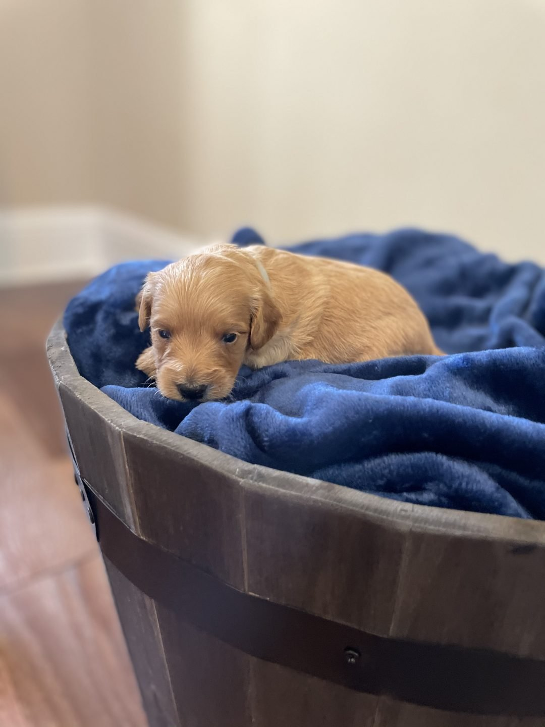 Gray - Mini Goldendoodle male pupper for sale at Fort Valley, Georgia