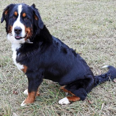 Francisco - doggie AKC Bernese Mountain female for sale at Harlan, Indiana