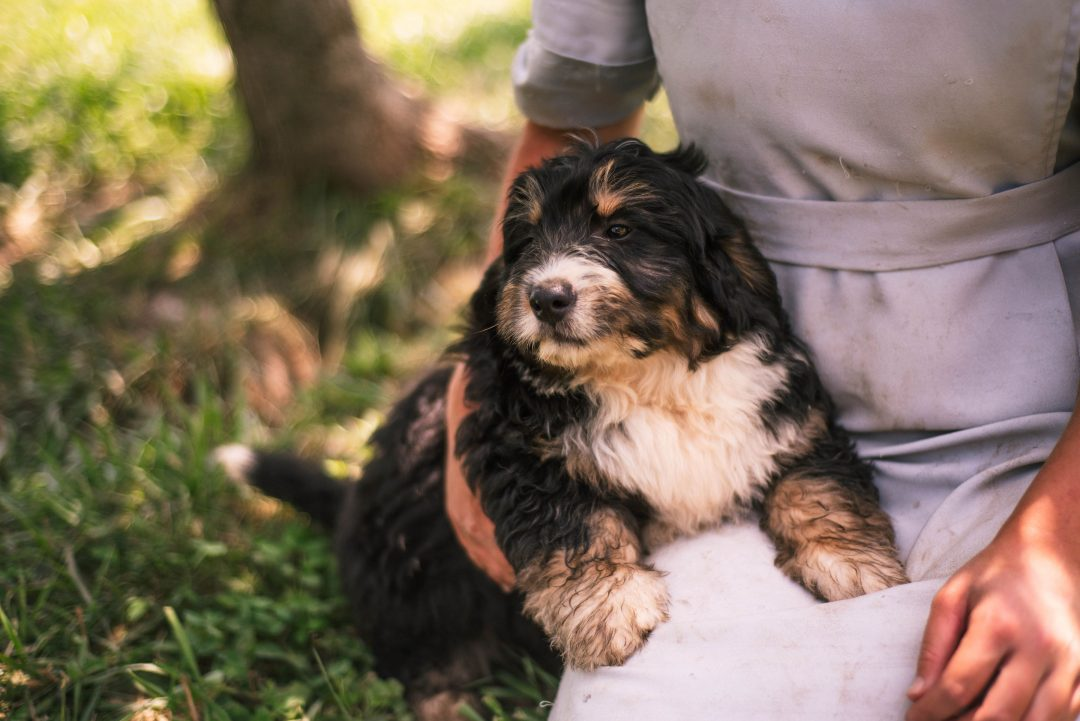 Ace *Mini* Bernedoodle male puppy for sale in Harlan, Indiana