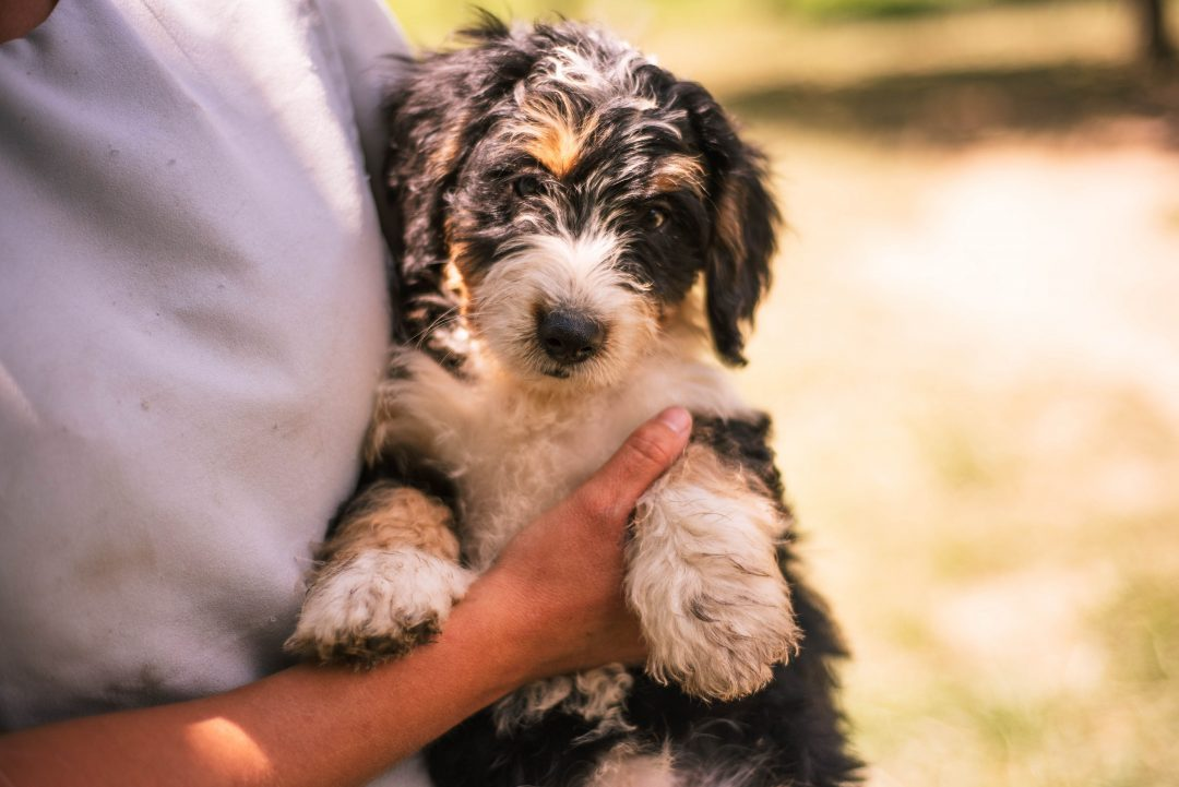 Abby *Mini* - Bernedoodle female puppie for sale in Harlan, Indiana