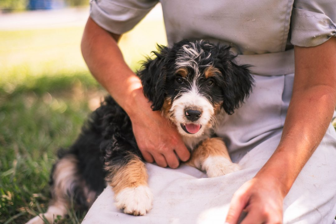 Allie *Mini* - Bernedoodle female doggie for sale at Harlan, Indiana