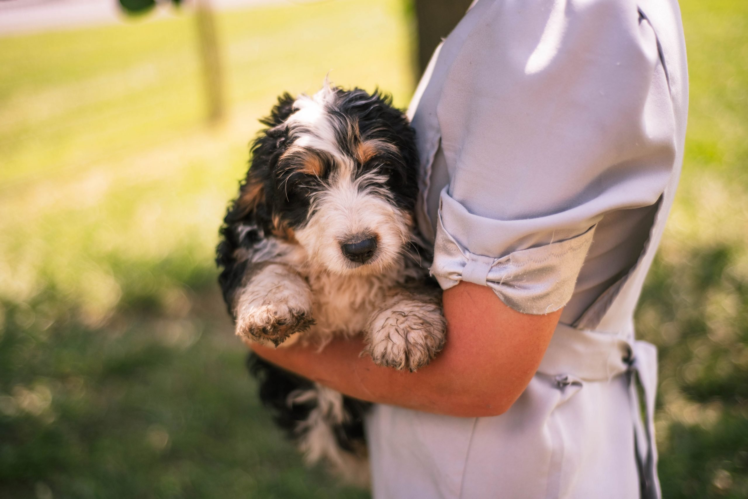 Angie - female Mini Bernedoodle pup for sale at Harlan, Indiana