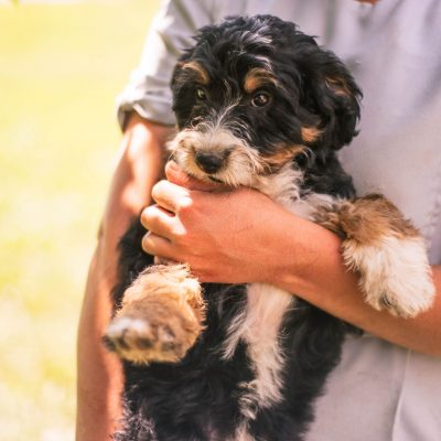 Annie *Mini* - Bernedoodle female puppy for sale near Harlan, Indiana