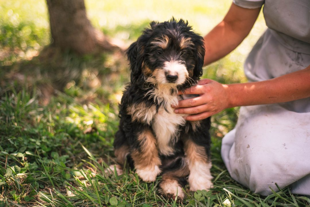 Aurora *Mini* - pup Bernedoodle female for sale in Harlan, Indiana