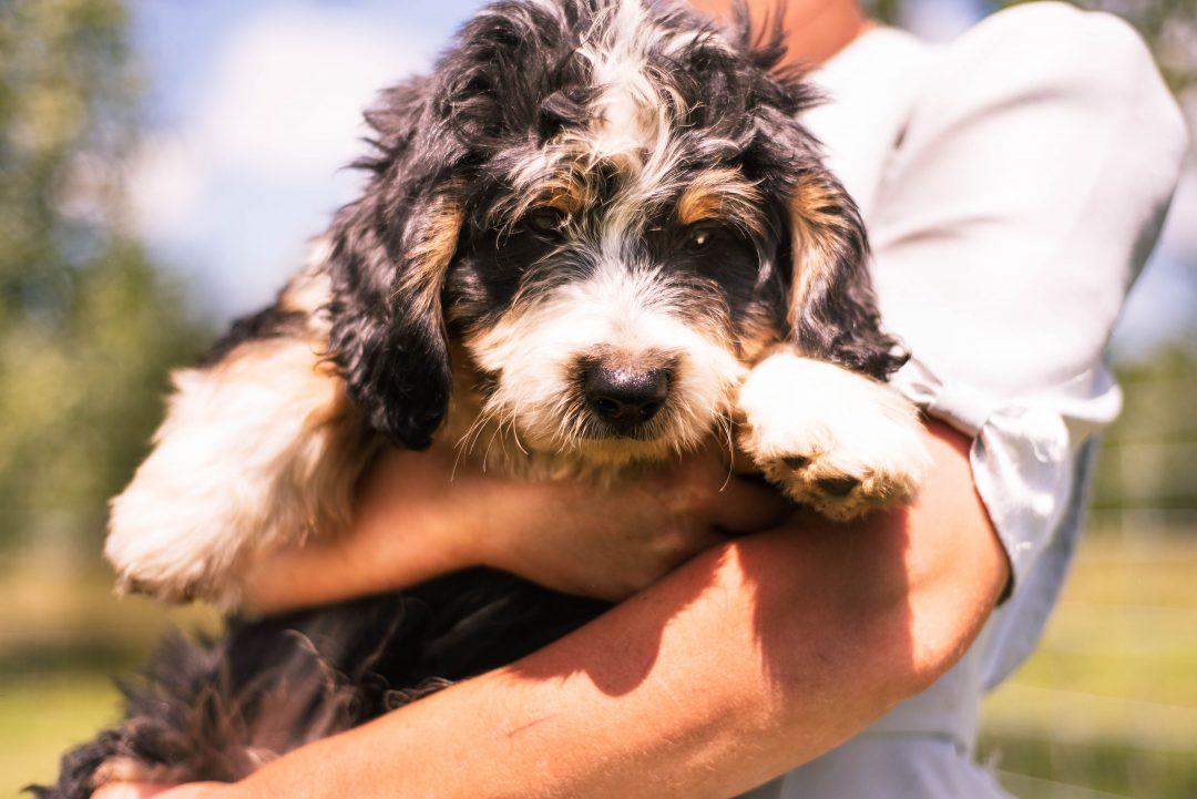 Cody *Mini* - Bernedoodle male pupper for sale in Harlan, Indiana