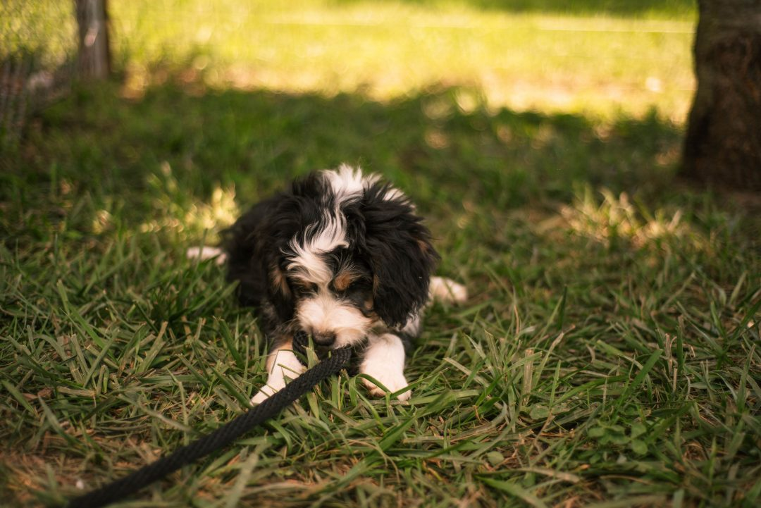 Colin *Mini* - Bernedoodle male puppie for sale at Harlan, Indiana
