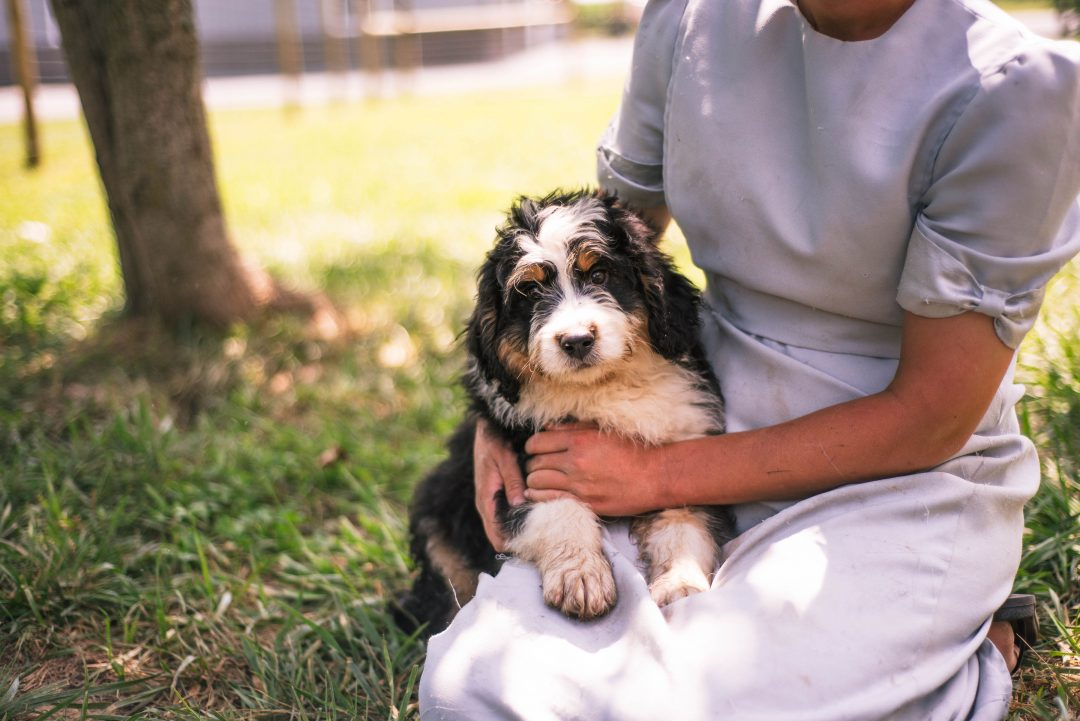 Knight *Mini* - Bernedoodle male puppy for sale in Harlan, Indiana