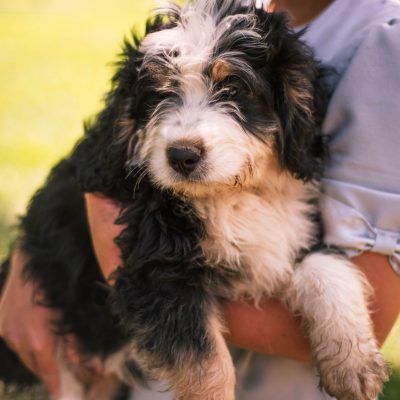 Koby * mini * - Bernedoodle male pup for sale at Harlan, Indiana