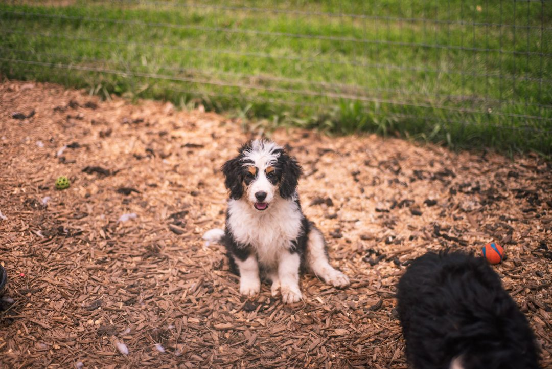 Thunder * mini * - pupper Bernedoodle male for sale near Harlan, Indiana