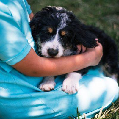 Dakota *mini* - Bernedoodle female doggie for sale near Harlan, Indiana