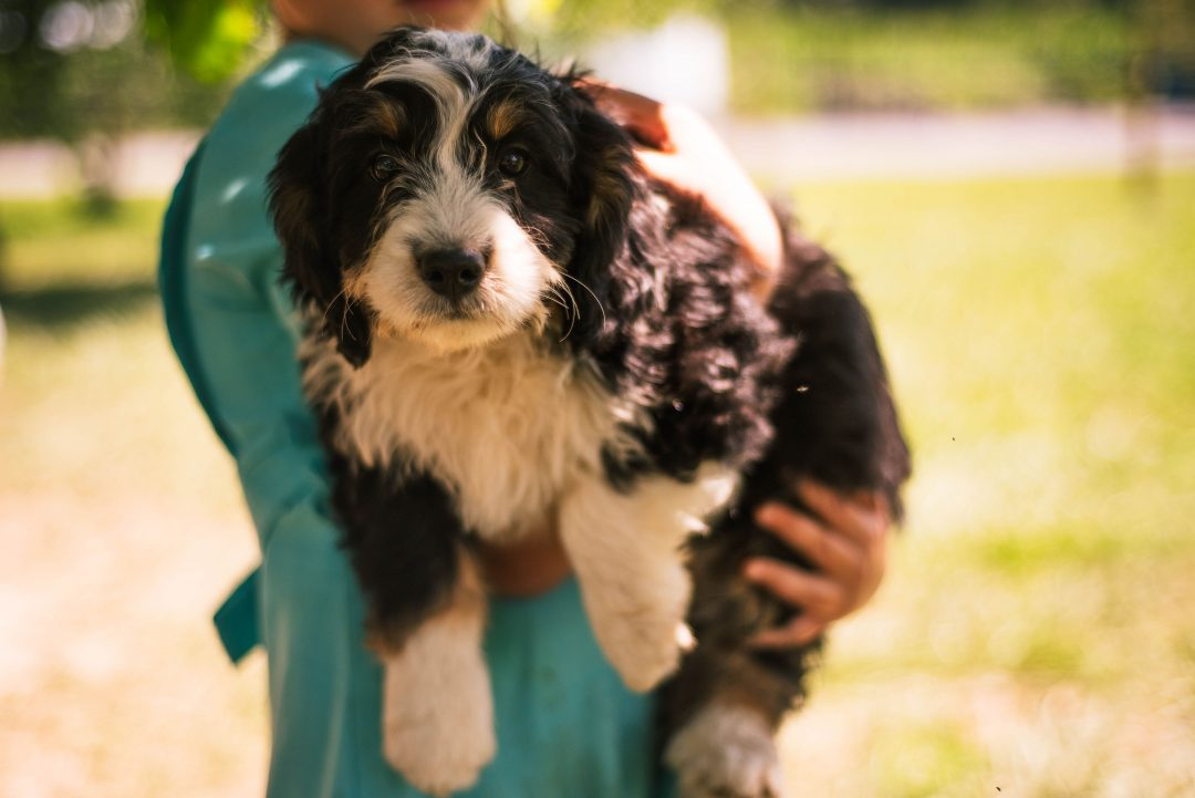 Mindy *Mini* - female Bernedoodle puppy for sale in Harlan, Indiana
