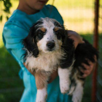 Oreo * mini * - Bernedoodle female doggie for sale at Harlan, Indiana