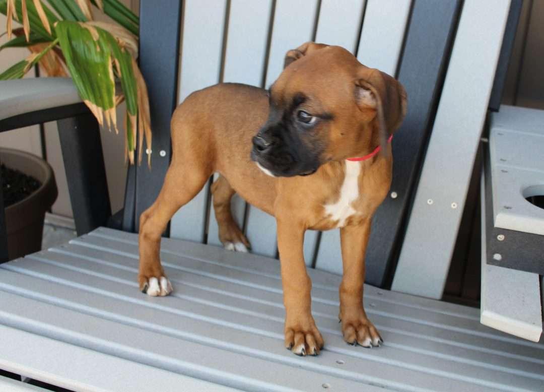 Bailey - AKC Boxer female pup for sale at Grabill, Indiana