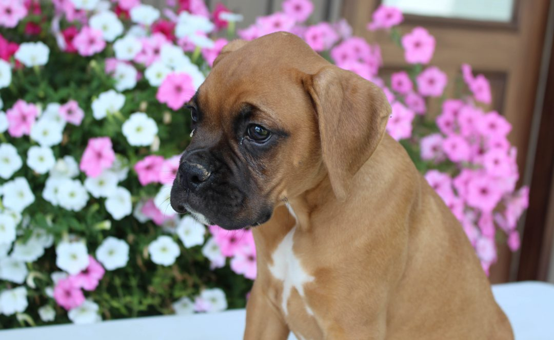 Archie - AKC Boxer male pup for sale near Grabill, Indiana