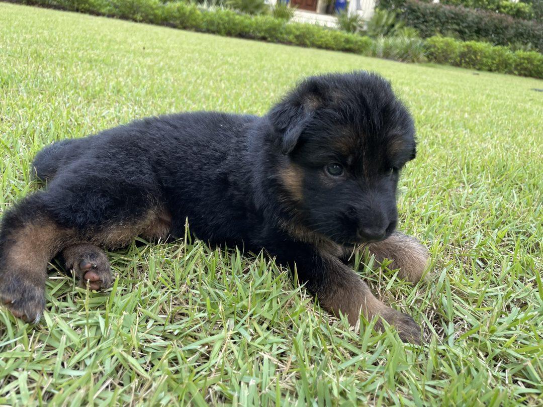 Eva - German Shepherd female pupper for sale near Charleston, South Carolina