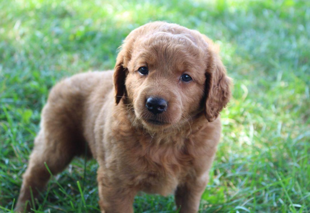 Kenzi - Mini Goldendoodle female puppie for sale at Woodburn, Indiana
