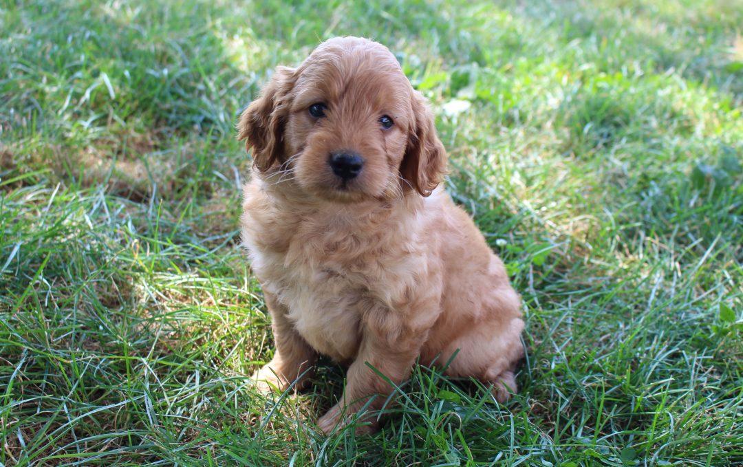 Kinky - doggie Mini Goldendoodle female for sale near Woodburn, Indiana