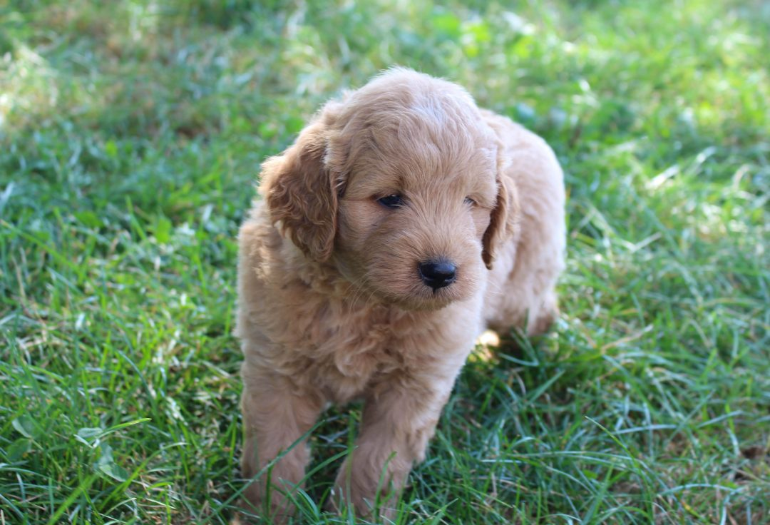 Cody - Mini Goldendoodle male puppy for sale in Woodburn, Indiana