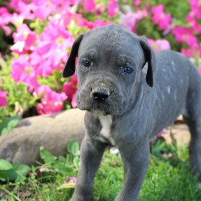 Duke - ICCF Cane Corso male pup for sale at New Haven, Indiana