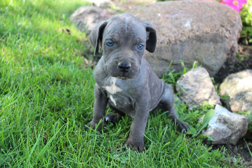 Milo - ICCF Cane Corso male doggie for sale in New Haven, Indiana