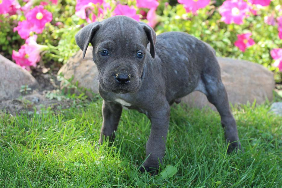 Winston - male ICCF Cane Corso puppy for sale at New Haven, Indiana
