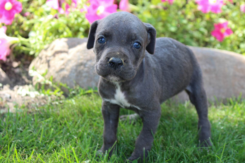 Riley - ICCF Cane Corso male pup for sale near New Haven, Indiana