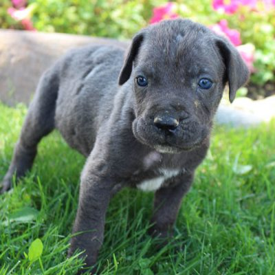 Leo - ICCF Cane Corso male pupper for sale in New Haven, Indiana