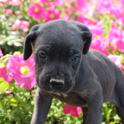 Kona - ICCF Cane Corso male puppie for sale at New Haven, Indiana