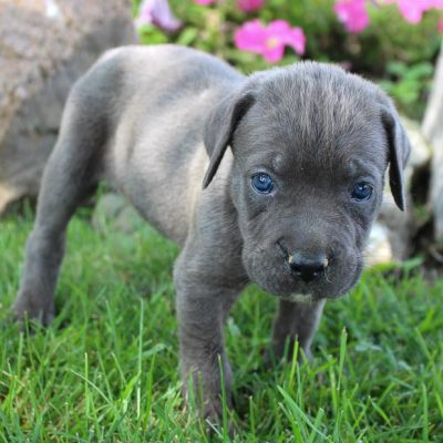 Bentley - puppy ICCF Cane Corso male for sale near New Haven, Indiana