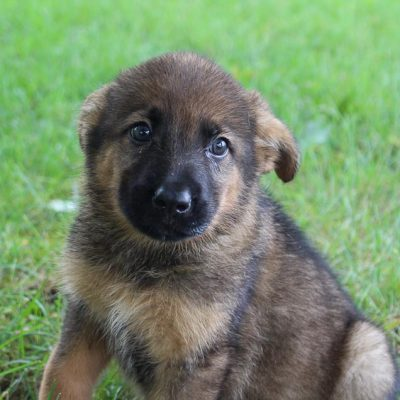 Dez - Bernese Mtn. Dog-German Shepherd mix male doggie for sale in New Haven, Indiana
