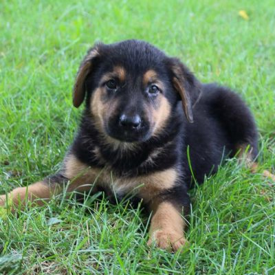 Ryder - Bernese Mtn. Dog-German Shepherd mix male puppy for sale in New Haven, Indiana