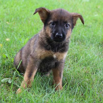Taylor - Bernese Mtn. Dog-German Shepherd mix pup for sale near New Haven, Indiana