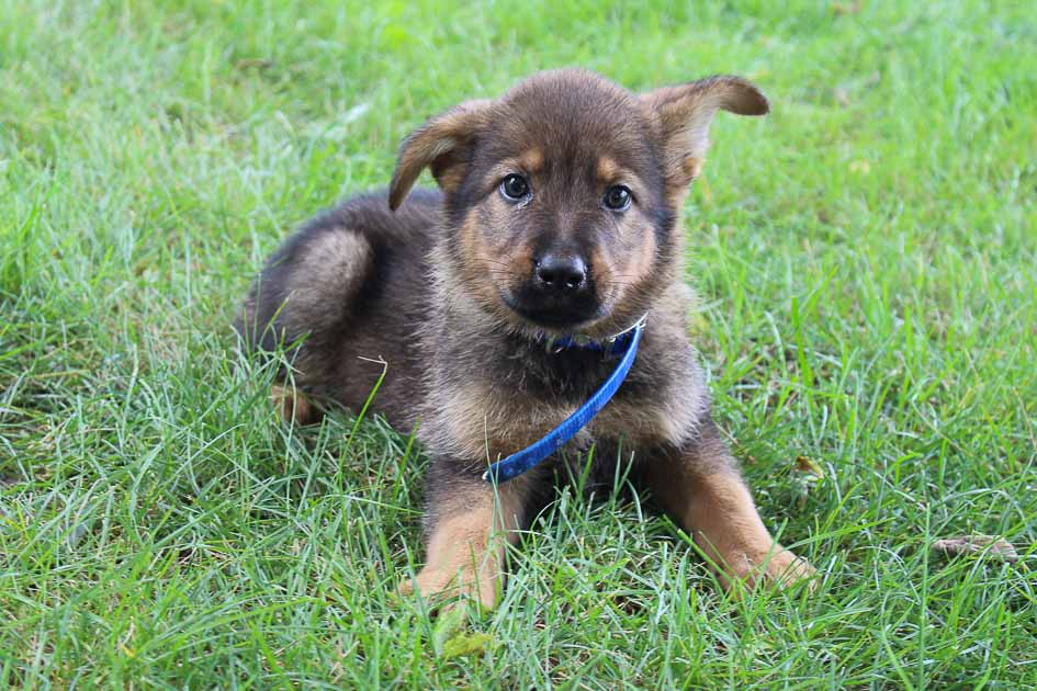 Lance - Bernese Mtn. Dog-German Shepherd mix puppie for sale at New Haven, Indiana