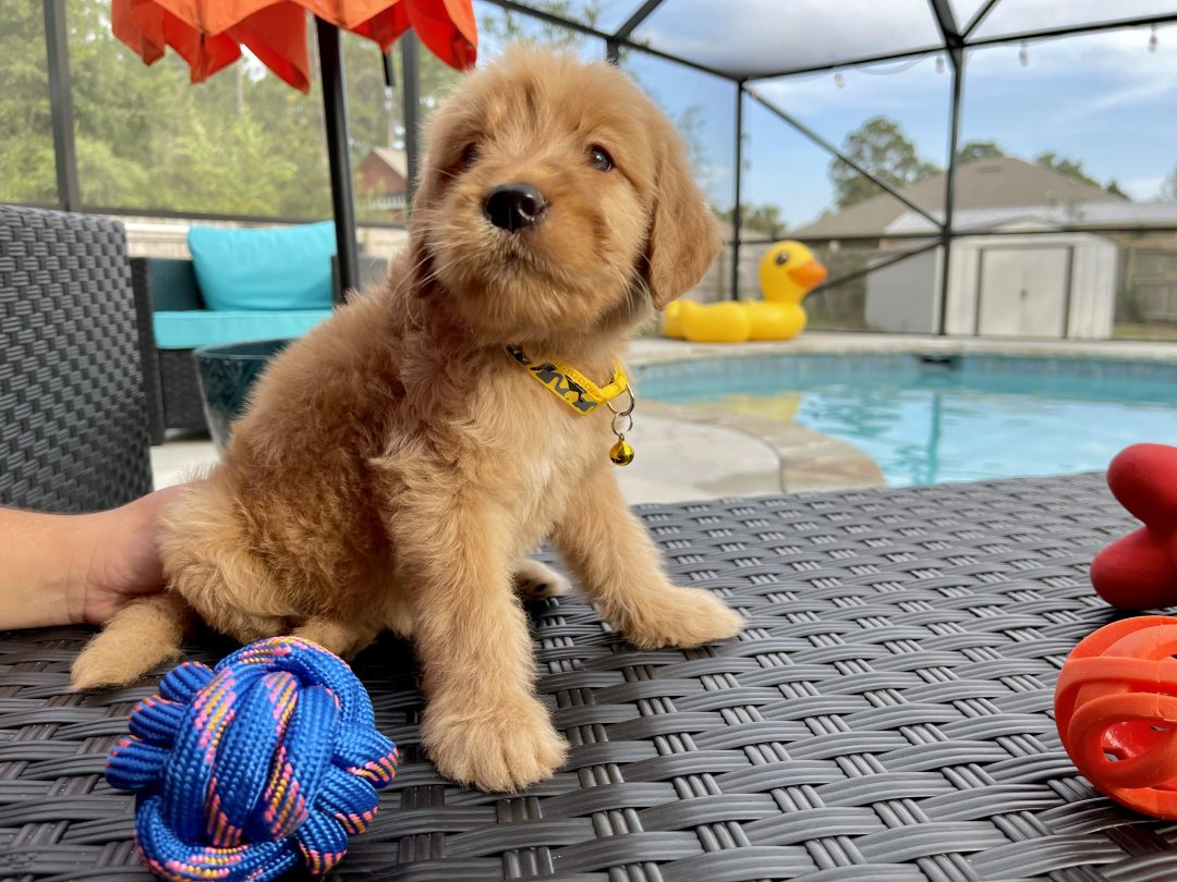 Tater Tot - Goldendoodle male puppy for sale in Navarre, Florida