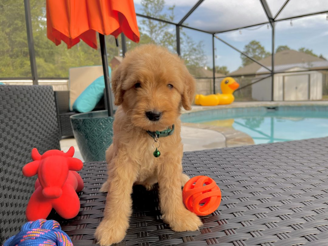 Terry - Goldendoodle male doggie for sale near Navarre, Florida
