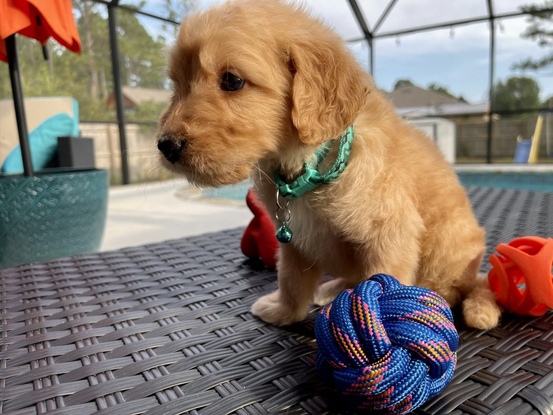 Zion - puppie Goldendoodle male for sale at Navarre, Florida