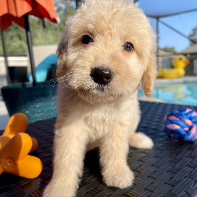 Jon Snow - Goldendoodle male pupper for sale in Navarre, Florida