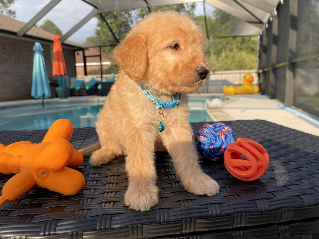 Maui - Goldendoodle doggie for sale in Navarre, Florida