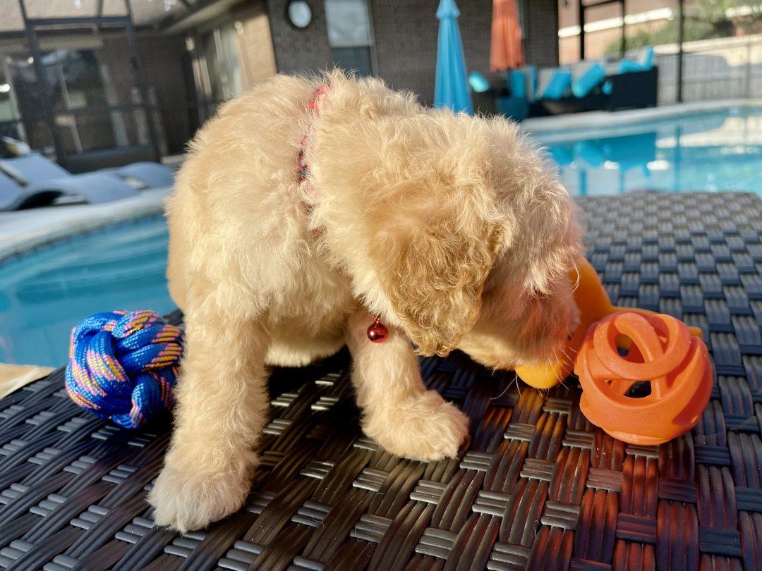 Dallas - male Goldendoodle puppie for sale near Navarre, Florida