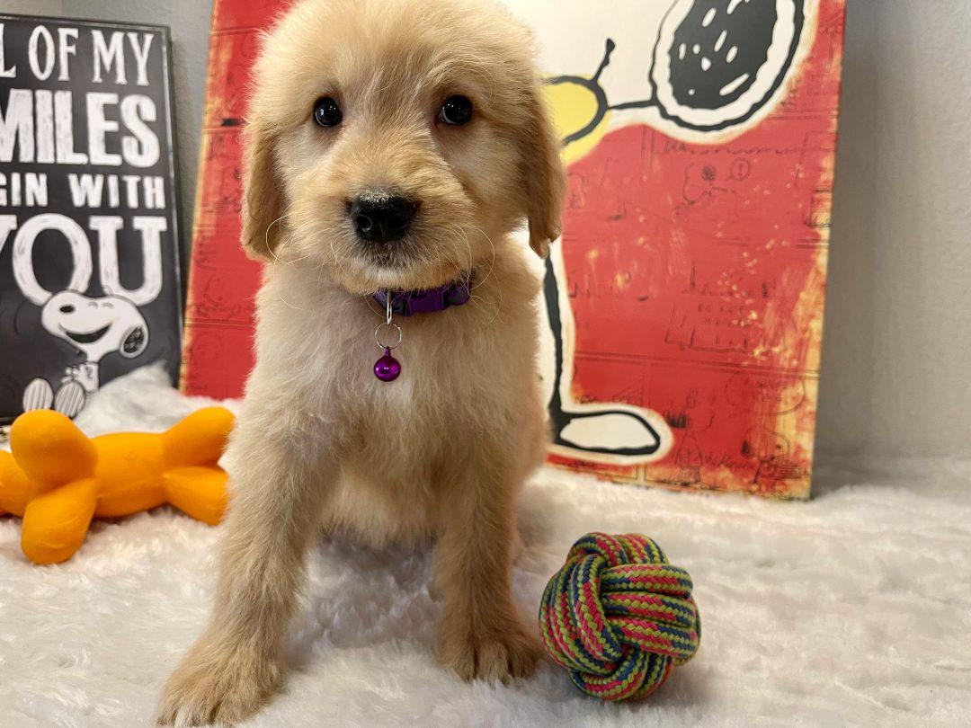 Milan - Goldendoodle male pup for sale at Navarre, Florida