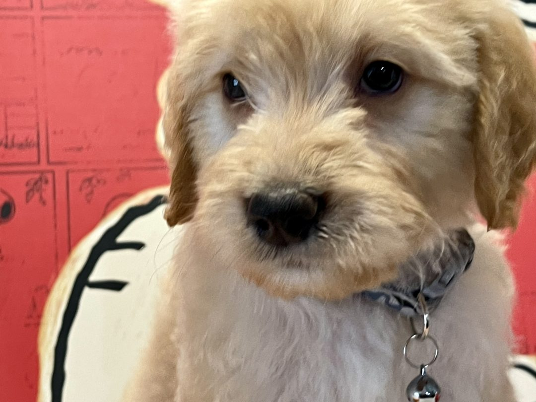 Chicago - Goldendoodle puppy for sale in Navarre, Florida