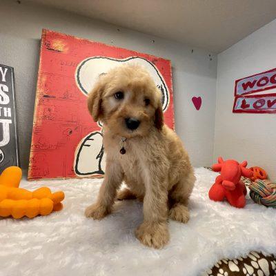 Marley - Goldendoodle pupper for sale at Navarre, Florida