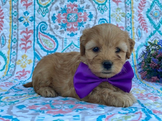 Luna - female Mini Goldendoodle pup for sale in Peachbottom, Pennsylvania