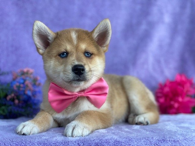 Kira - female Shiba Inu/Pomsky Mix pup for sale near Narvon, Pennsylvania