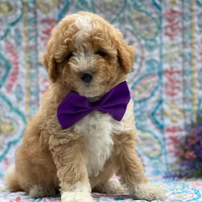 Annabelle- Bichpoo pupper for sale at Paradise, Pennsylvania