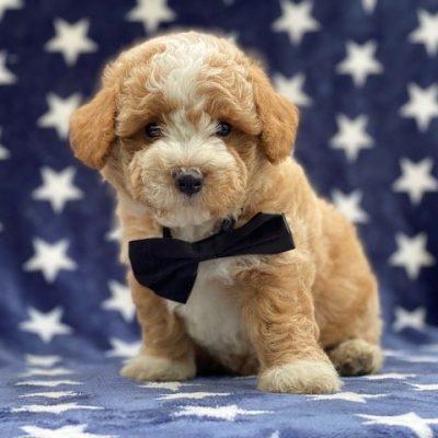Monty - Bichpoo doggie for sale at Paradise, Pennsylvania
